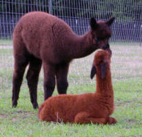 Baby Alpacas Kissing