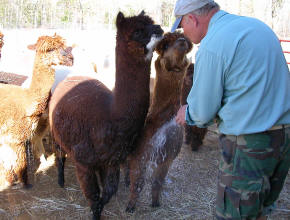 Alpacas being watered down.